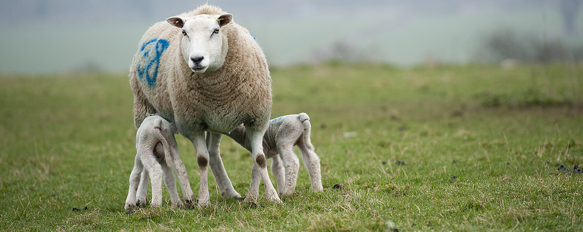 Apotil for cattle and sheep-Nimrod